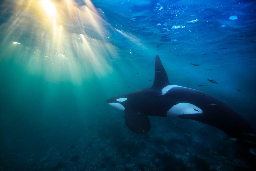 虎鯨。圖片來源:Audun Rikardsen/The Zoological Society of London