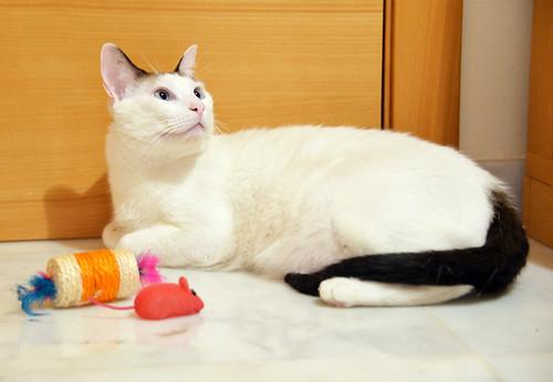 Blau, gato cruce Snowshoe nacido en enero´17 esterilizado, apto para gatos machos, en adopción. Valencia. 31313760708_1da8b10d4f