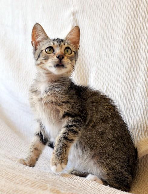 Free, gatita parda guapa y mimosa, muy buena, nacida en Julio´18, en adopción. Valencia. ADOPTADA. 43374390190_65d26620a1_z