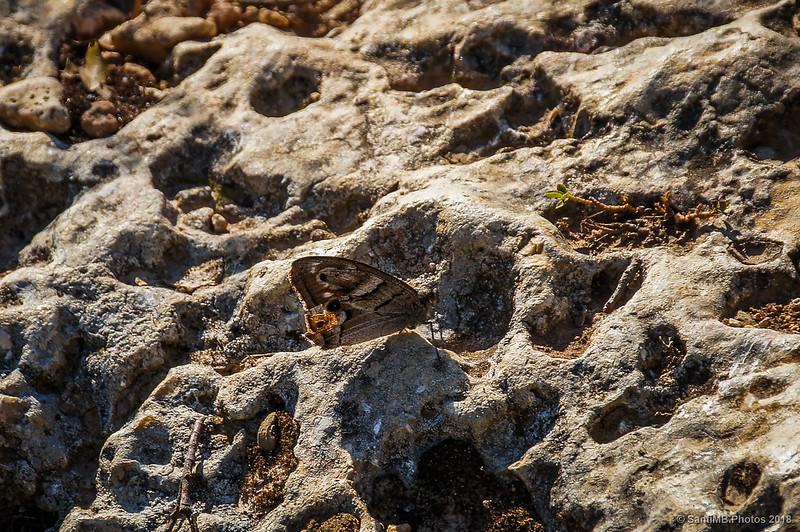Festón blanco posado en una roca