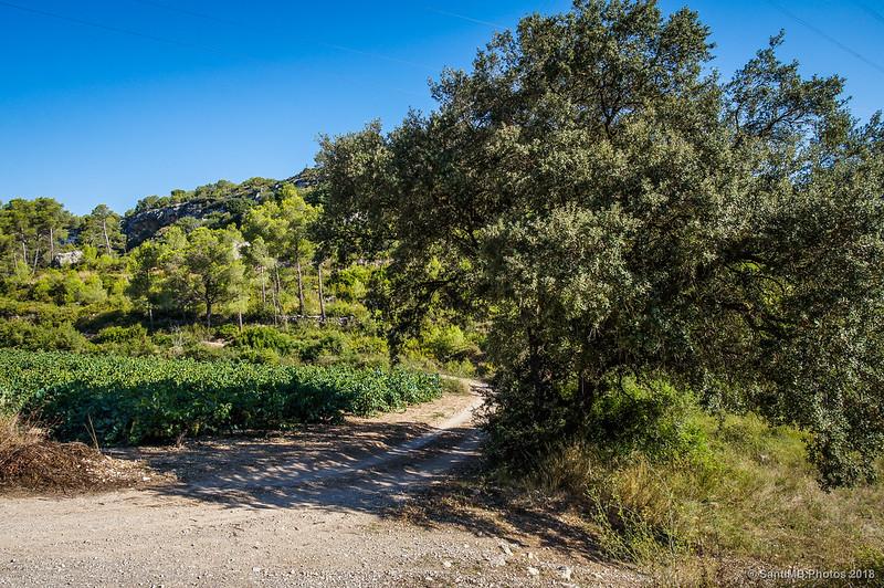 Encina y viñedo en el Fondo de la Vall