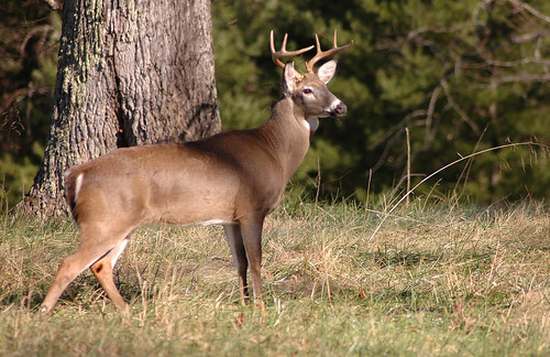Photo of buck standing in clearing by Steve Edwards