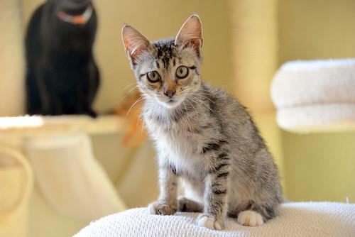 Free, gatita parda guapa y mimosa, muy buena, nacida en Julio´18, en adopción. Valencia. ADOPTADA. 31313845488_6df32a081a