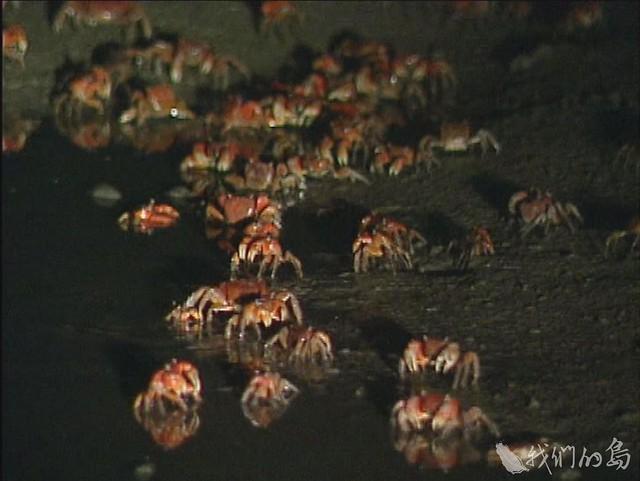 984-2-32002年屏東滿州港口溪中型仿相手蟹集體釋幼的盛況。