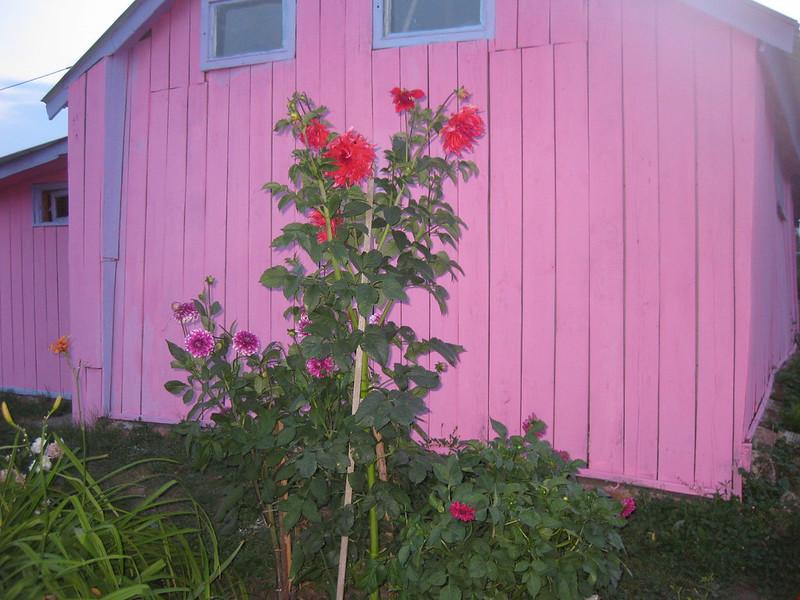 Цветы георгины около сарая