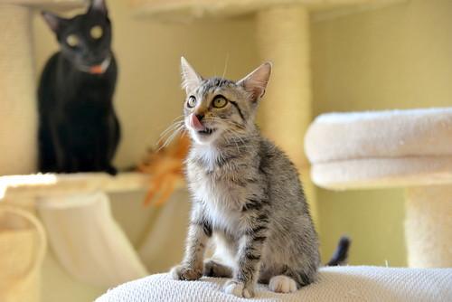 Free, gatita parda guapa y mimosa, muy buena, nacida en Julio´18, en adopción. Valencia. ADOPTADA. 30249546617_9c8976464b