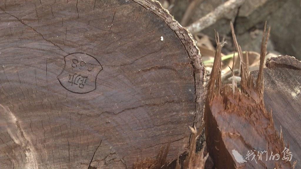 975-2- (41)族人發現留存的大樹樹頭斷面,烙上林務單位的鋼印。
