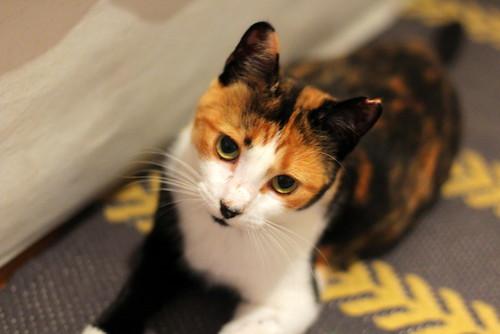 Yaiza, gatita tricolor guapísima y dulce esterilizada, nacida en Abril´18, en adopción. Valencia. ADOPTADA. 45104127261_1f7123dd09
