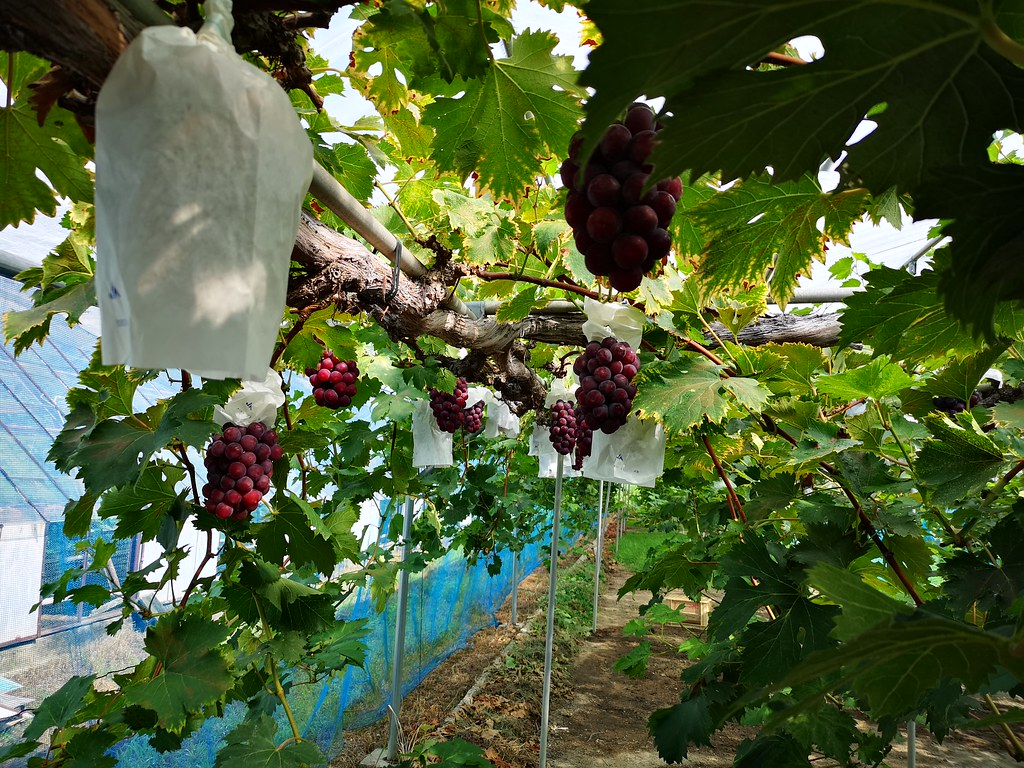 Beautiful Pione grapes hanging from the grapevine.