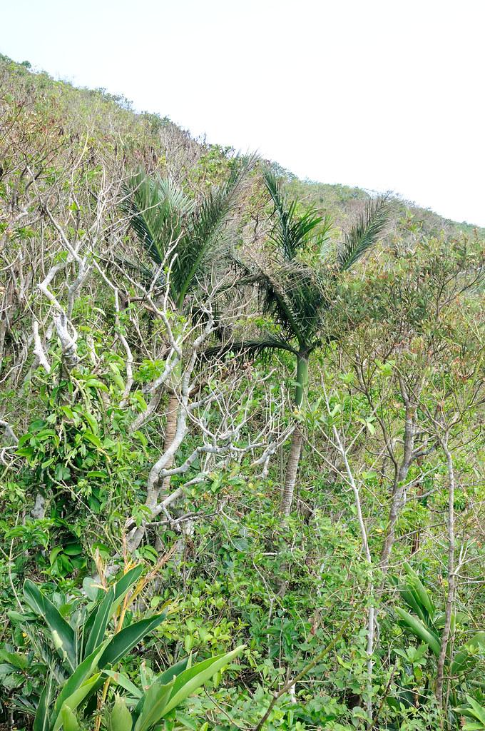 生長於蘭嶼原始森林中山檳榔成熟的植株,外觀與檳榔極為相似。圖片來源:王偉聿