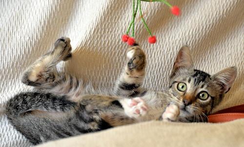 Free, gatita parda guapa y mimosa, muy buena, nacida en Julio´18, en adopción. Valencia. ADOPTADA. 43374401870_8cf1b83d3a
