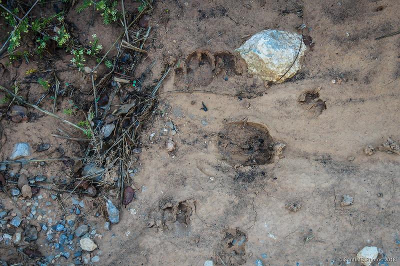 Huellas de cabra en el Fondo de la Vall