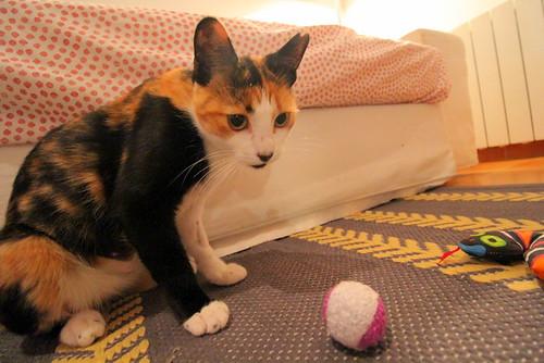 Yaiza, gatita tricolor guapísima y dulce esterilizada, nacida en Abril´18, en adopción. Valencia. ADOPTADA. 31230276298_a4fa979c68