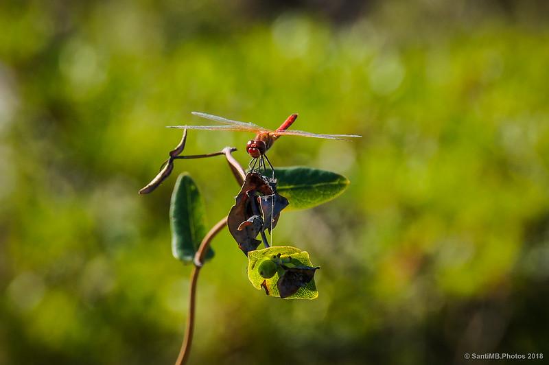 Macho de libélula flecha roja