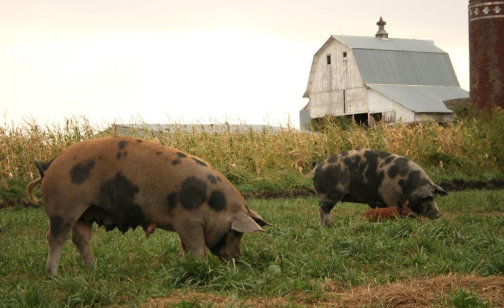 美國人道飼養的豬隻。