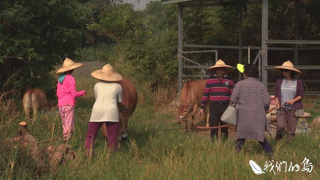 高齡化政策暨產業發展協會和恆春分所合作,讓銀髮族在休耕地放養黃牛。