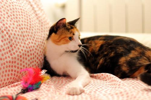 Yaiza, gatita tricolor guapísima y dulce esterilizada, nacida en Abril´18, en adopción. Valencia. ADOPTADA. 45054942782_a3821d893f