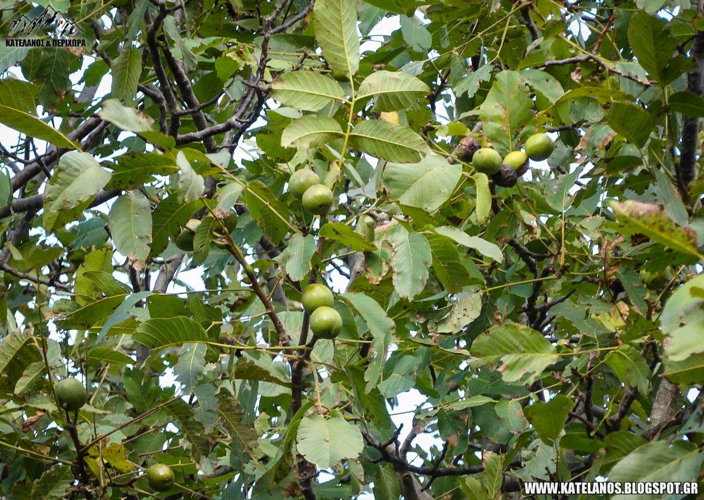καρύδια πάνω στο δέντρο καρπός