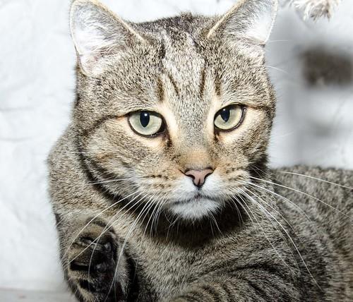 Bandit, gato pardo ojos verdes súper bueno esterilizado, nacido en Marzo´16, en adopción. Valencia. ADOPTADO. 32377525488_4da6627931
