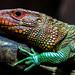 Caiman Lizard, London Zoo