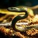 Japanese rat snake (Leucism) of Ueno Zoo, Tokyo : アオダイショウ(白変種)