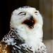 Female Snowy Owl of Ueno Zoo, Tokyo : メスのシロフクロウ