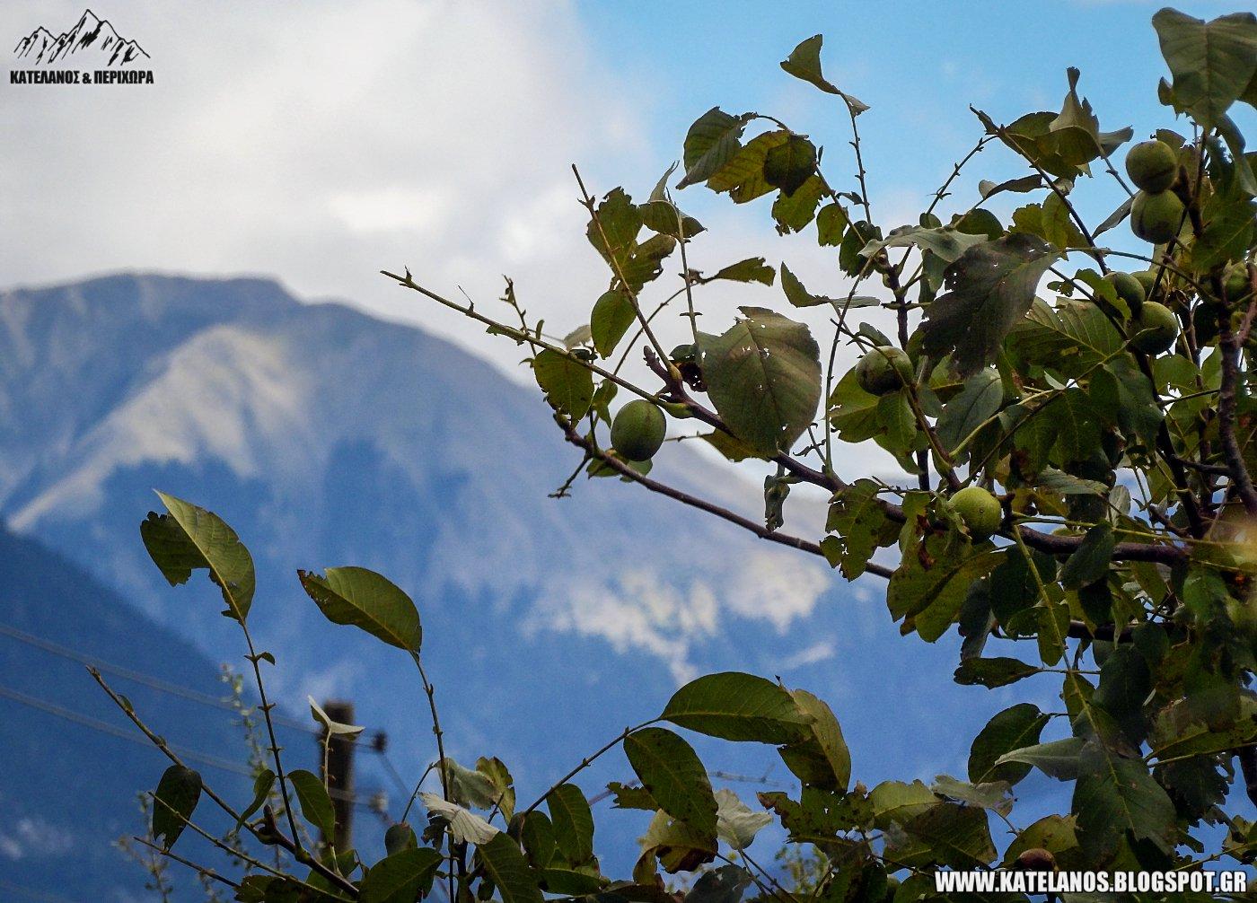 ορεινά καρύδια σοδειά 2018 βουνό σκαλτίνα κατελάνος