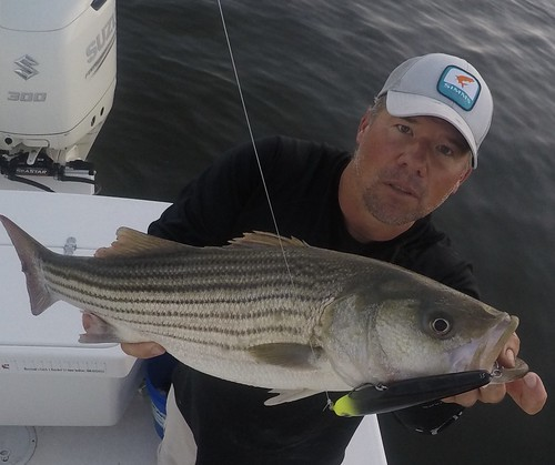 Photo of Man holding striped bass.