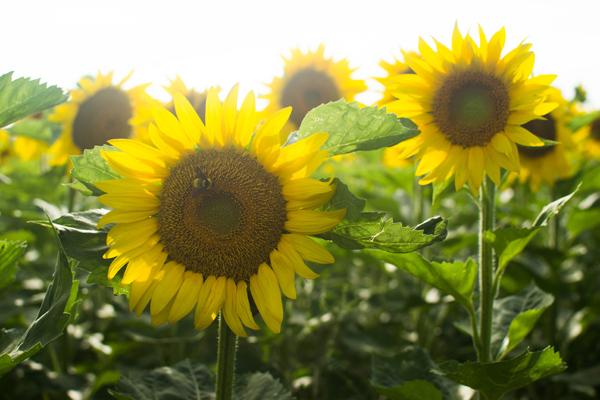 frederick farms clifton springs sunflowers