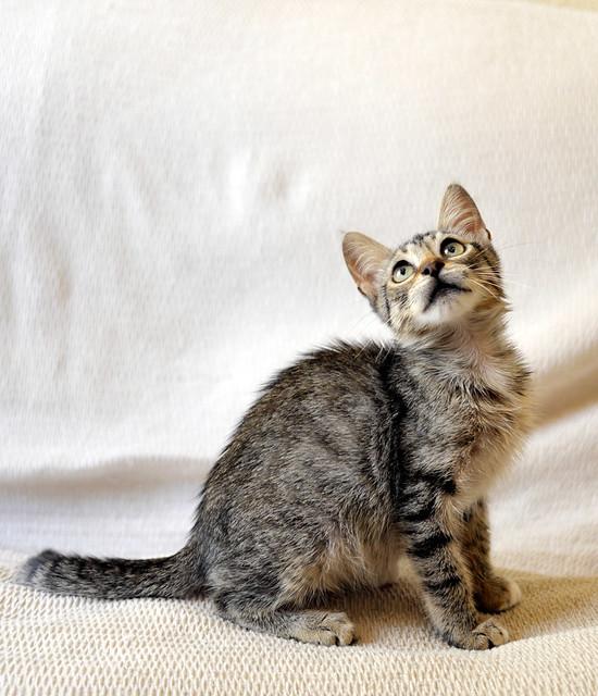 Free, gatita parda guapa y mimosa, muy buena, nacida en Julio´18, en adopción. Valencia. ADOPTADA. 45139176612_bbe64ed6ff_z