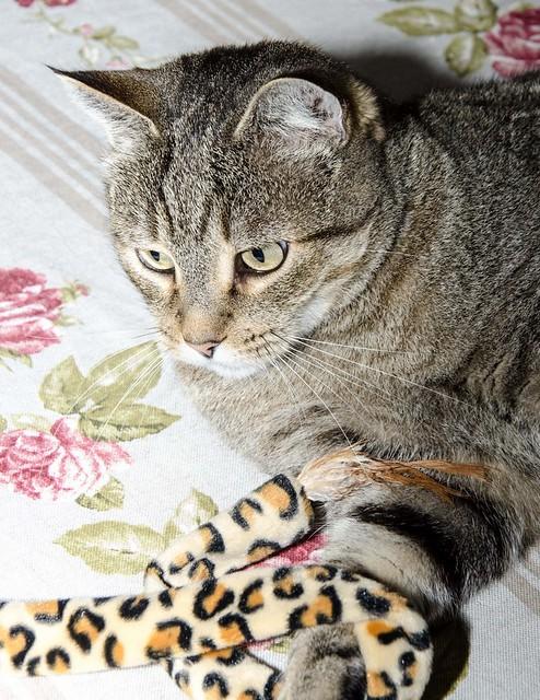 Bandit, gato pardo ojos verdes súper bueno esterilizado, nacido en Marzo´16, en adopción. Valencia. ADOPTADO. 32377526568_84894ede64_z