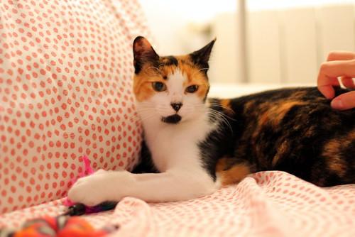 Yaiza, gatita tricolor guapísima y dulce esterilizada, nacida en Abril´18, en adopción. Valencia. ADOPTADA. 45054939122_81fcc8c39d