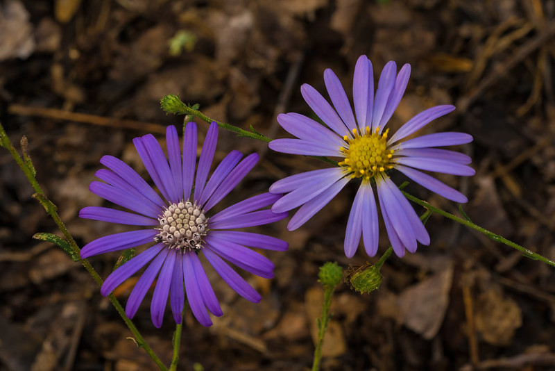 Georgia aster (left) and Late Purple aster (right)