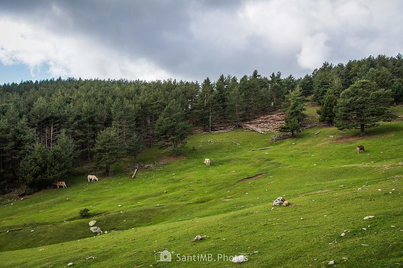 Vacas pastando en el Pla de l'Orri