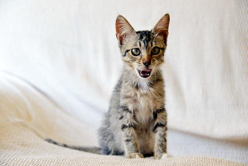 Free, gatita parda guapa y mimosa, muy buena, nacida en Julio´18, en adopción. Valencia. ADOPTADA. 43374414270_e34d8cd52c