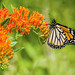 Monarch on Butterfly Weed