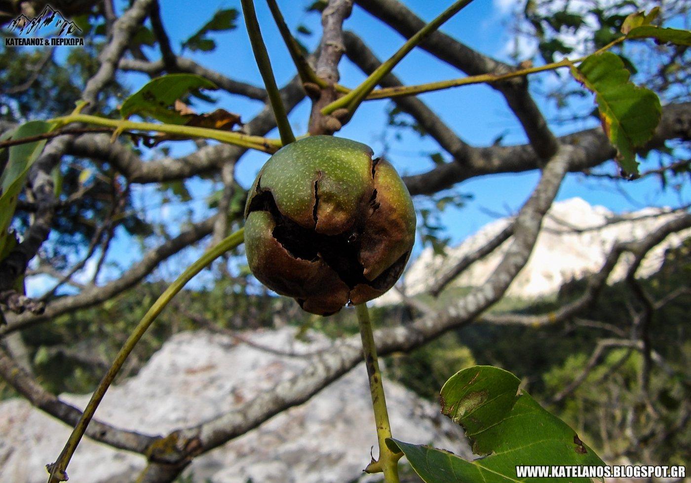 καρύδια ορεινά βιολογικοί ξηροί καρποί παναιτωλικό όρος παρακαμπύλια