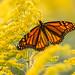 Monarch Fall Evening