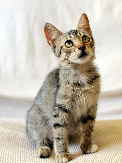 Free, gatita parda guapa y mimosa, muy buena, nacida en Julio´18, en adopción. Valencia. ADOPTADA. 44277414675_93be2c8ccd_z