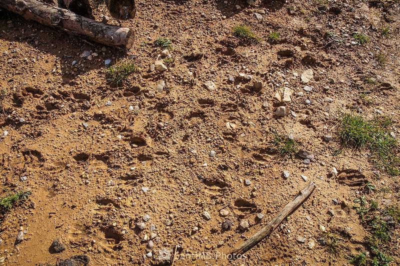 Huellas de ciervo en el Pla del Catllaràs