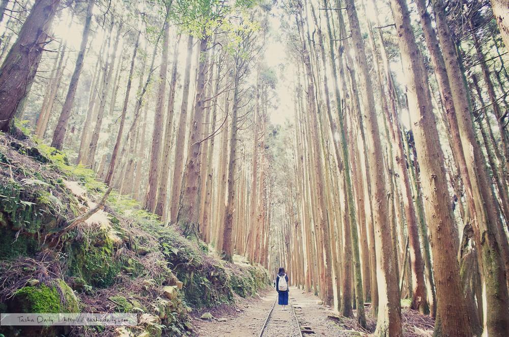 阿里山旅遊︱特富野古道.看似平易近人、實則充滿挑戰的美麗古道