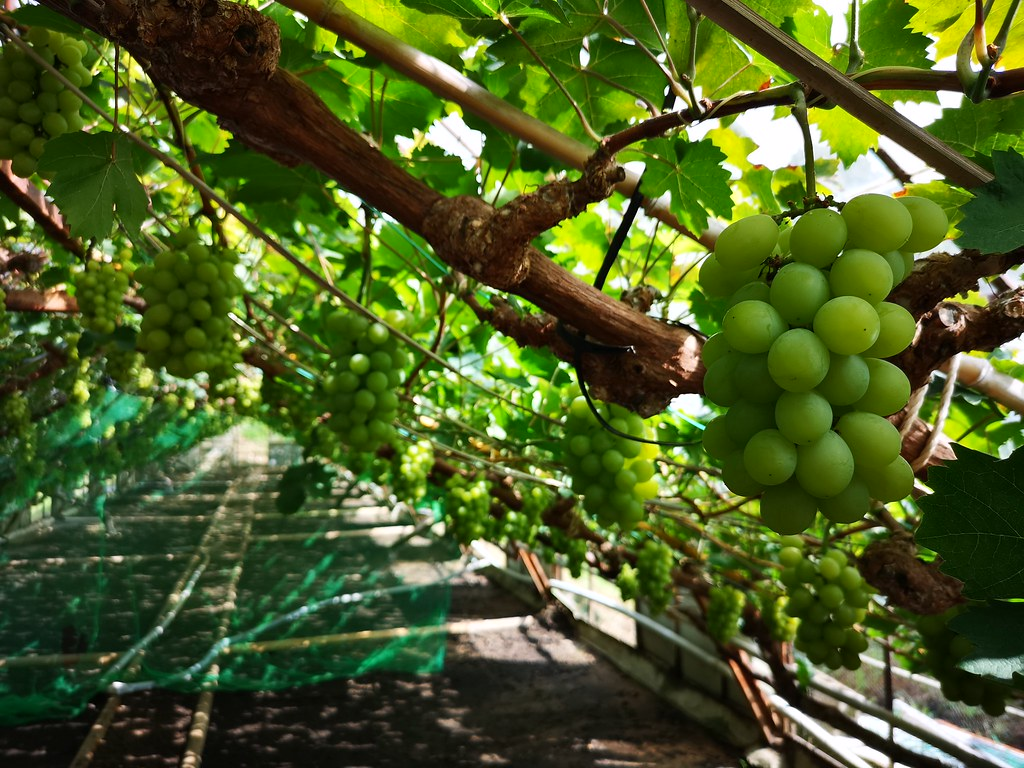 Shine Muscat grapes at Mitakuen farm.