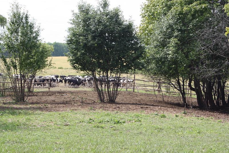 Коровы в загоне