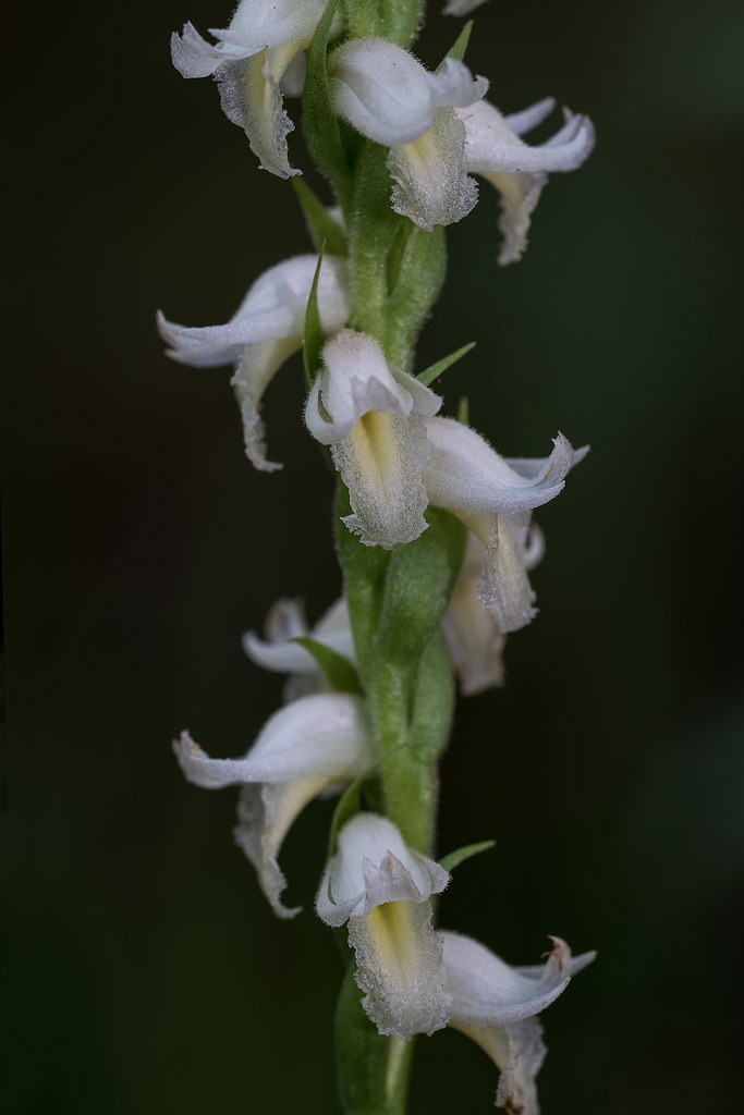 Fragrant Ladies'-tresses orchid