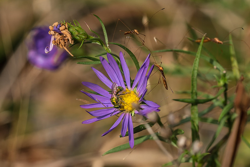 Lavender Oldfield Aster with pollinators