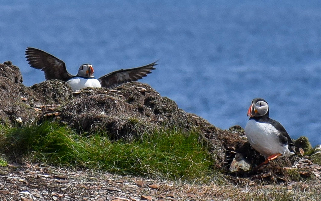 where to see puffins in Newfoundland