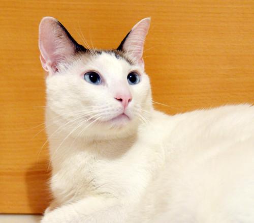 Blau, gato cruce Snowshoe nacido en enero´17 esterilizado, apto para gatos machos, en adopción. Valencia. 31313768048_9080a4449d