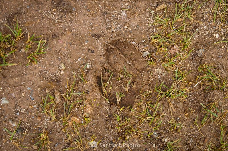 Huellas de ciervo en el Pla de l'Orri