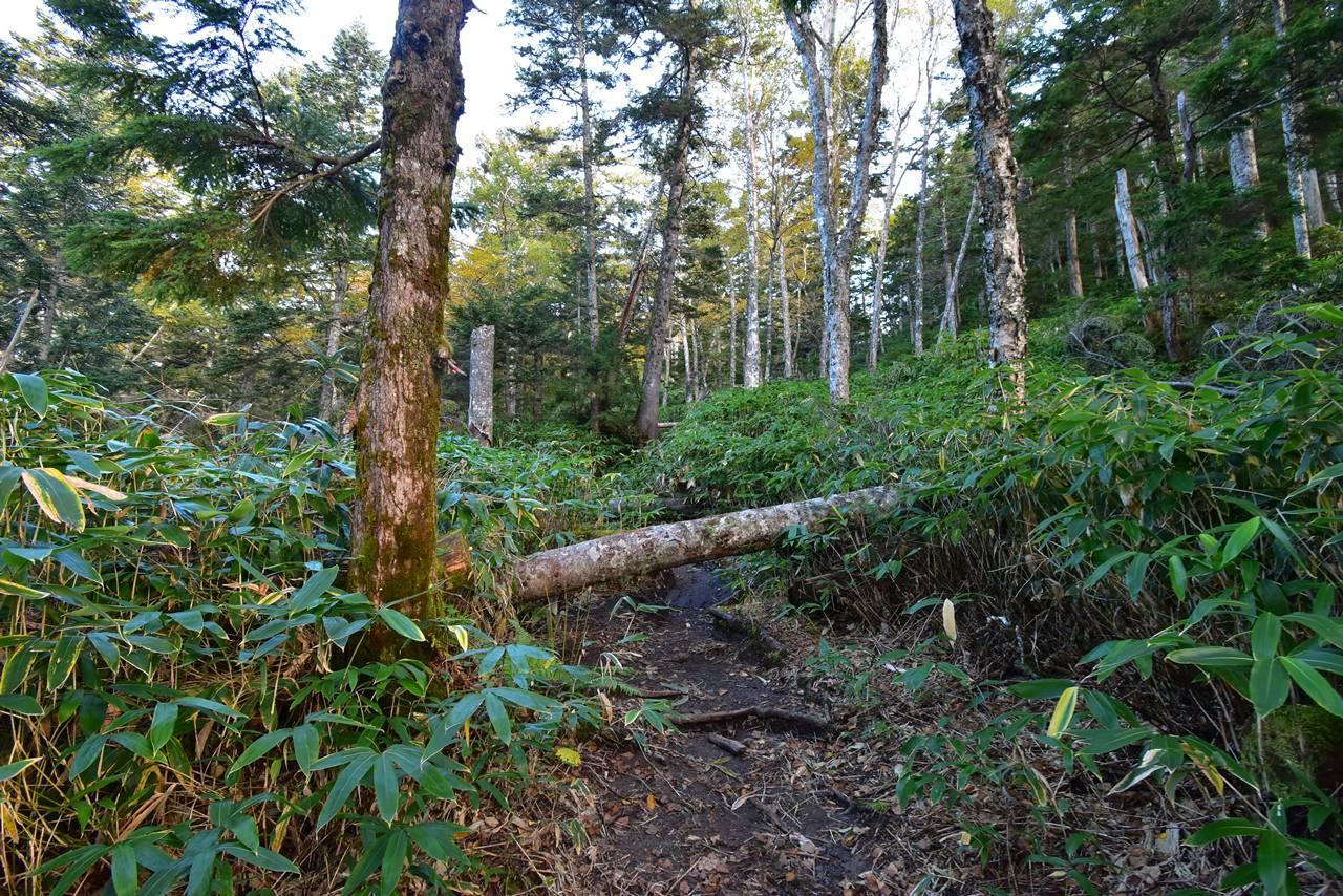 焼岳・新中の湯ルート登山道の倒木