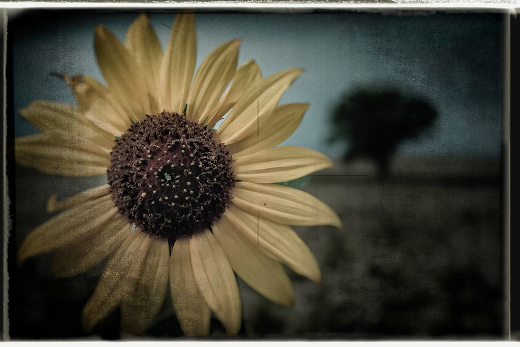Sunflower, Dacono CO